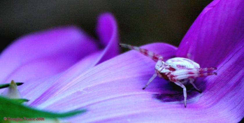 pink-crab-12