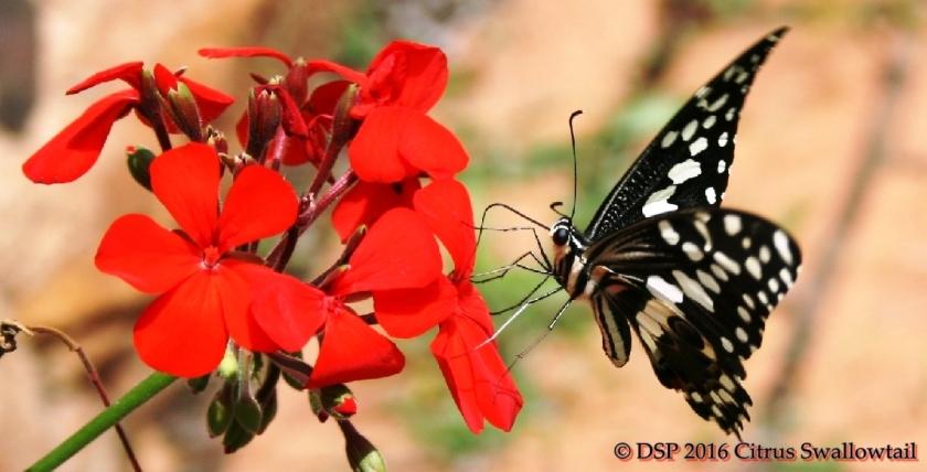 swallowtail-on-geranioum-2