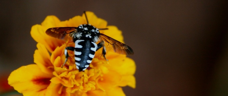 thyreus-on-marigold2