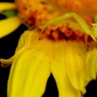Incy Wincy: Flower Crab Spiders
