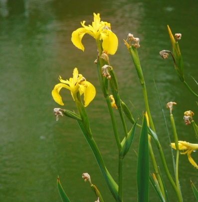 flag iris in the pond