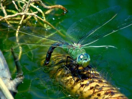 Blue Emporer Female