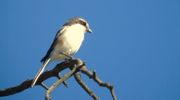 Female Fiscal Shrike ii