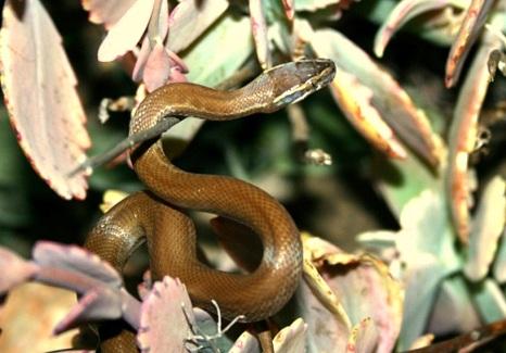House Snake ii