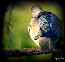 Laughing dove 19 7 18