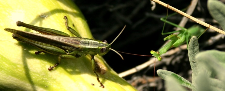 Mantis and Cricket