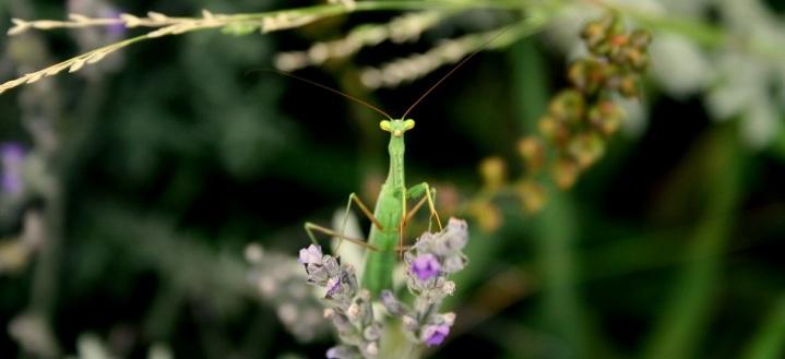 Mantis on Lavender