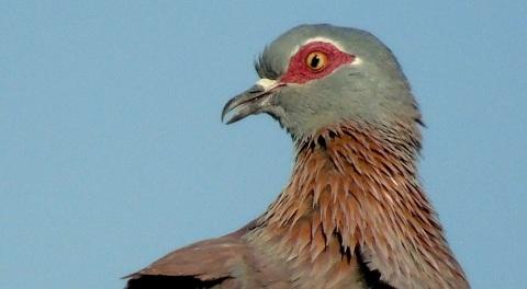 Rock Pigeon on Neighbours roof iii