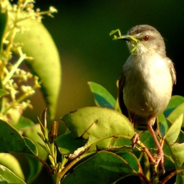 Tawny Flanked Prinia with Praying mantis i