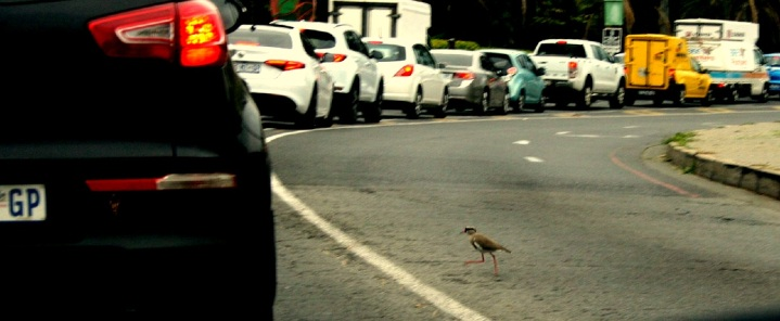 bird crossing the road 1a.