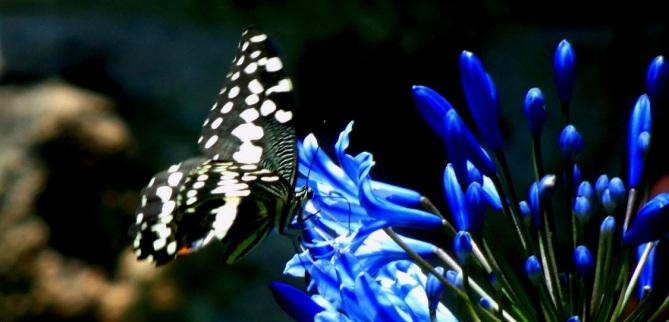 swallowtail on agapanthus