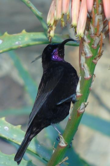 Amethyst Sunbird (male)