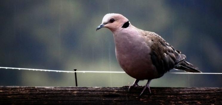 Half Collared Dove in the rain