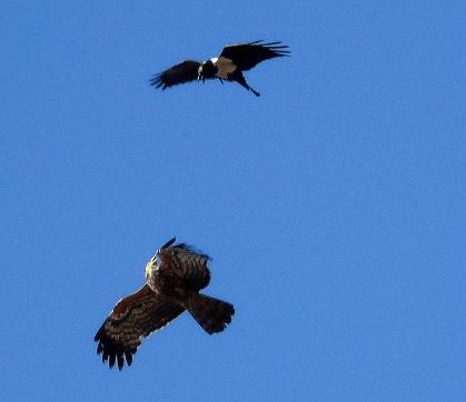 Pied Crow harasses a gymnogene hawk