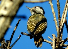 Cardinal Woodpecker (female)