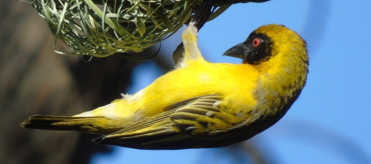 Cape Masked Weaver (male)