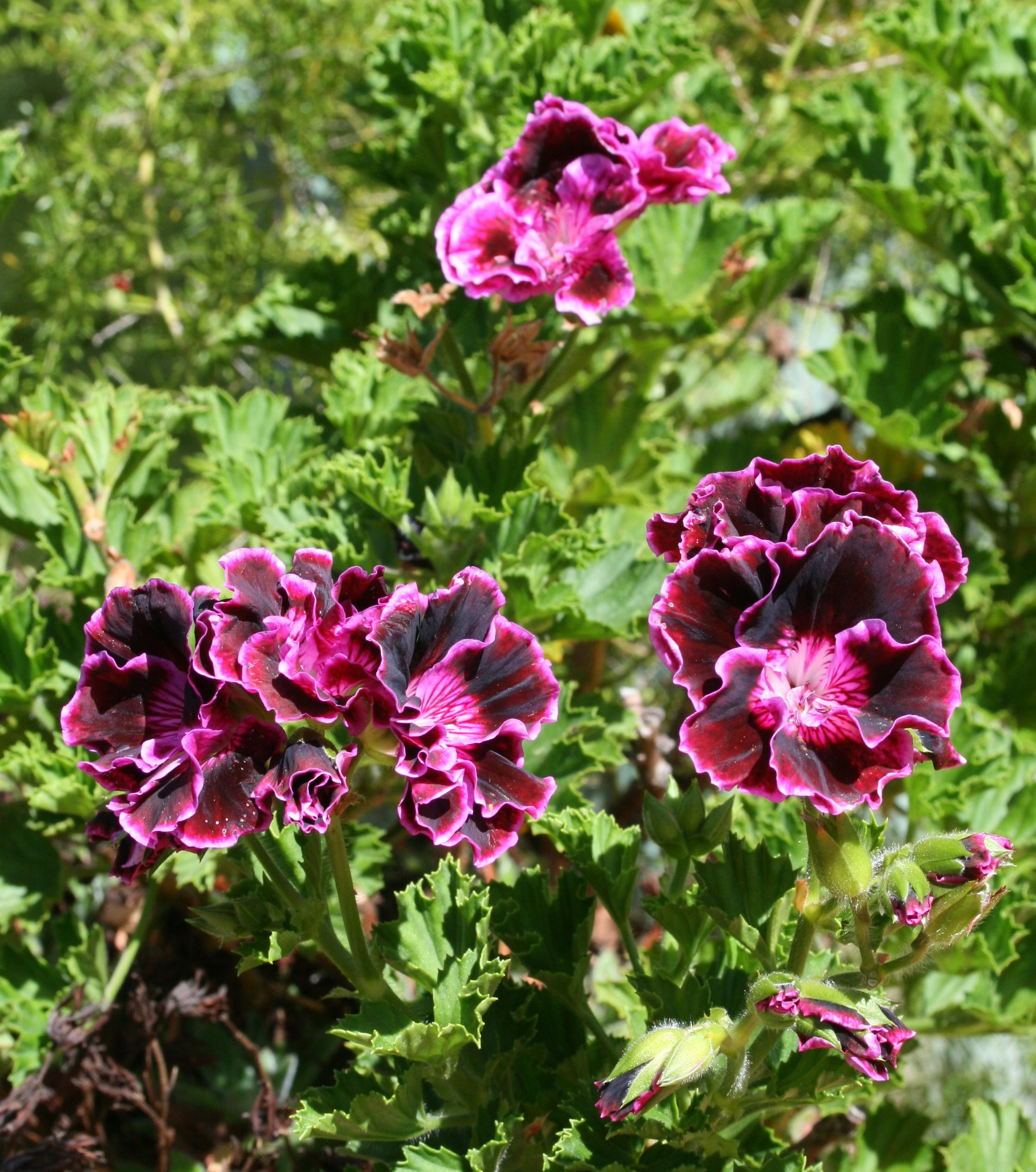 purple pelargonians