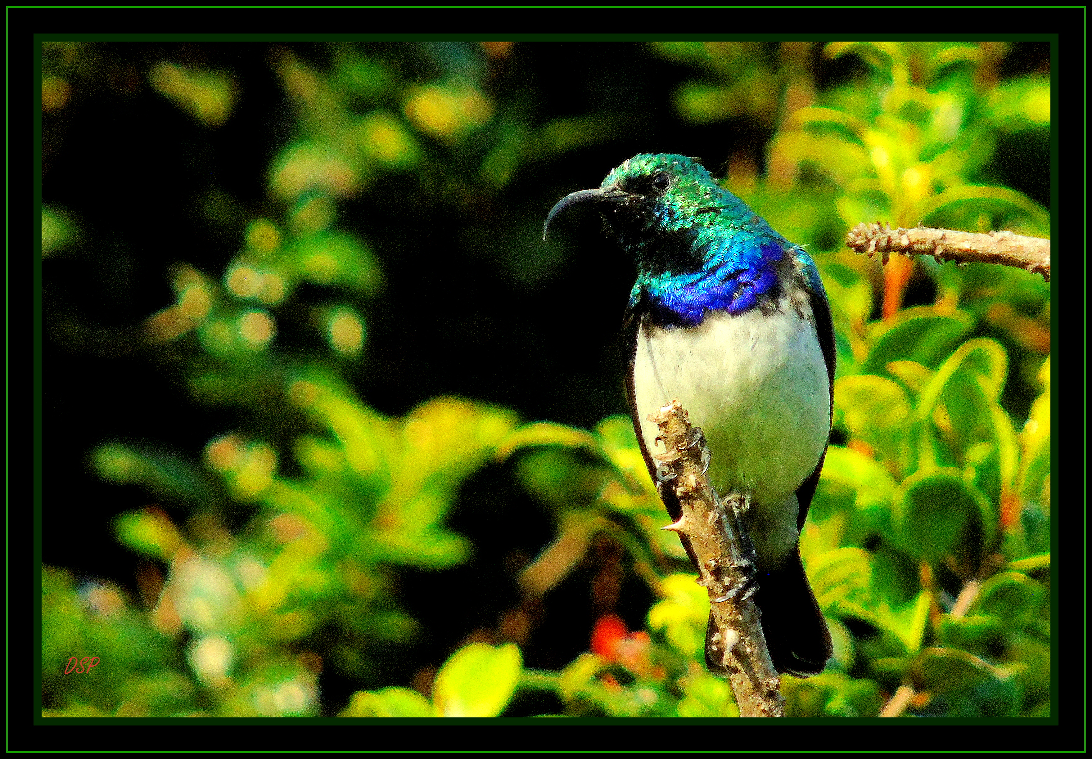 White Bellied Sunbird on Coral Tree.