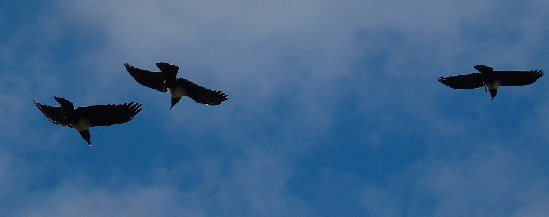 Pied Crow 3